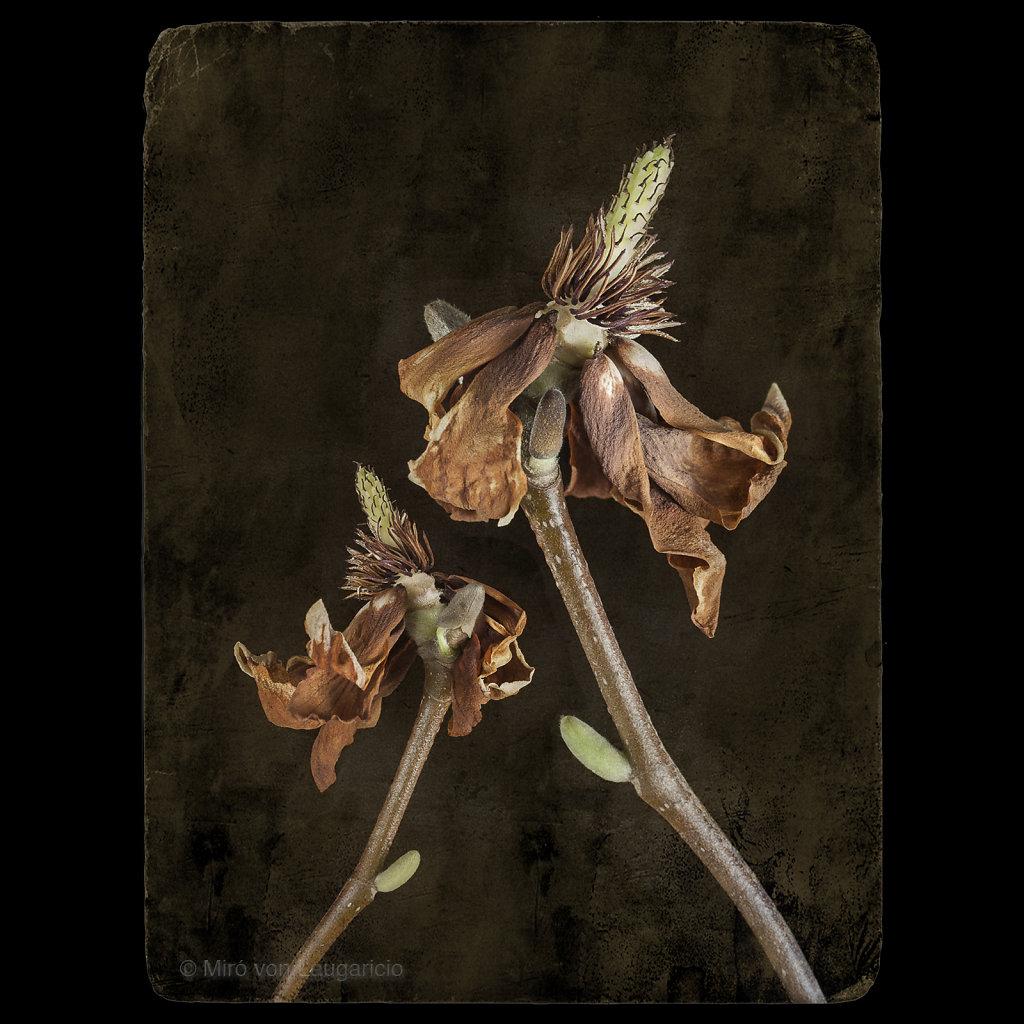 Magnolie hellrosa